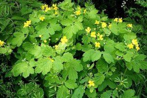 Чистотел — целебное растение с множеством применений