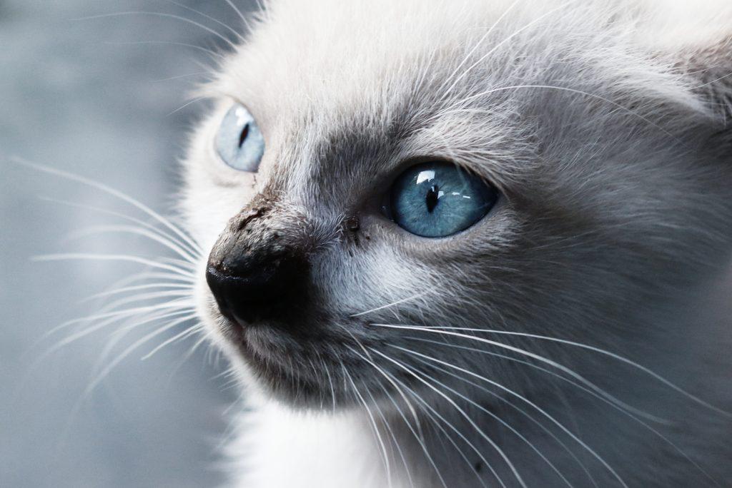 Породы кошек, которые подойдут людям, склонным к аллергии