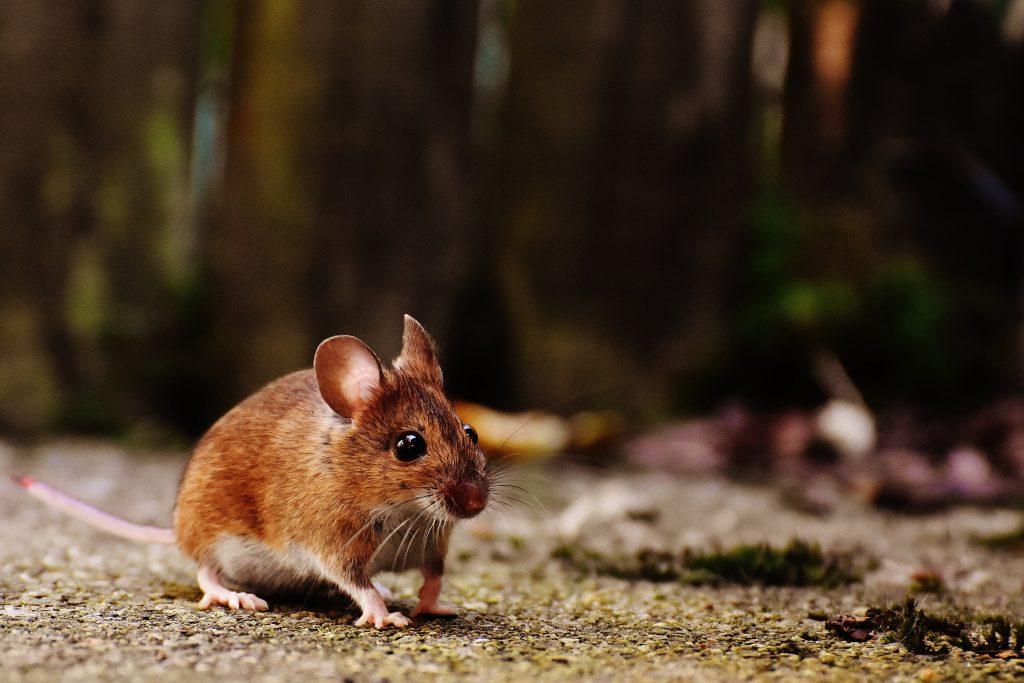 Эксперты назвали самый простой способ предотвратить появление мышей в доме