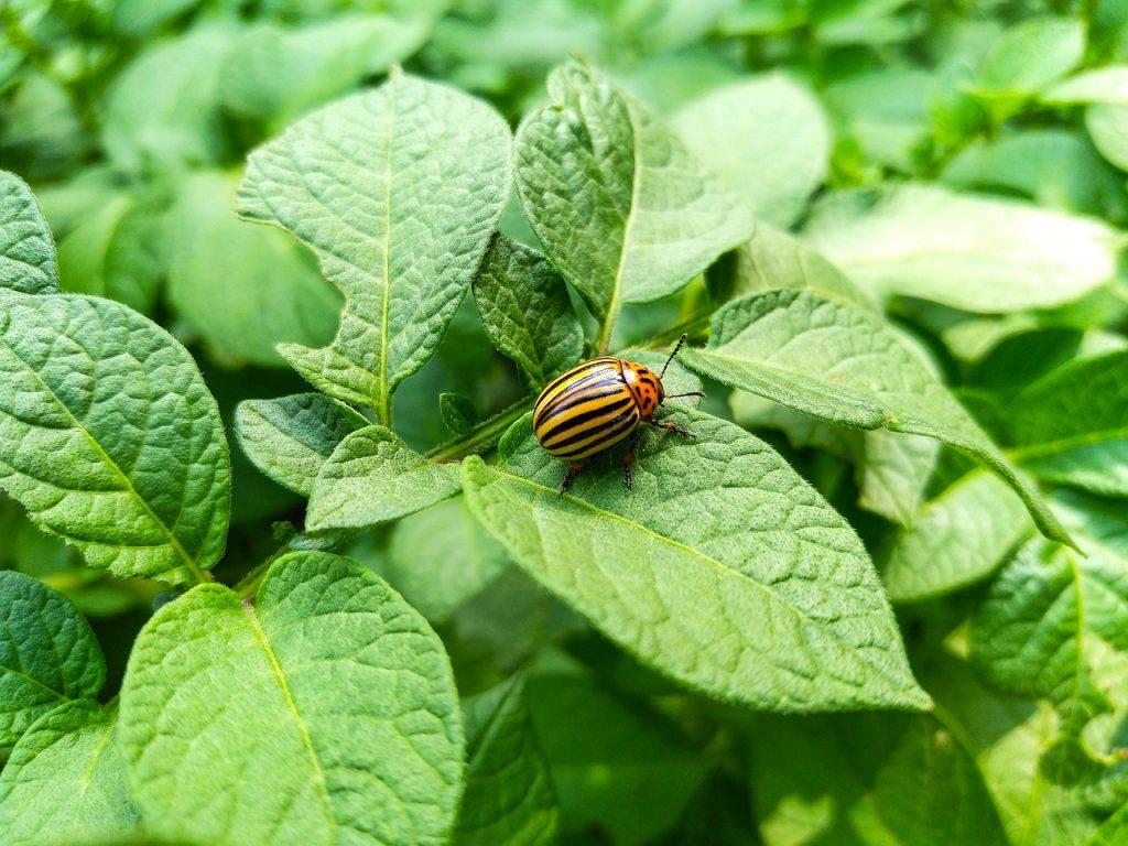 Как избавиться от колорадских жуков быстро и совершенно без химии
