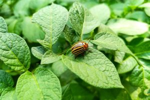 Как предотвратить появление колорадских жуков в огороде?
