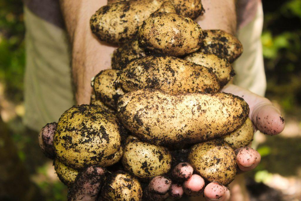 В каких условиях лучше всего сажать картошку: 4 полезных совета