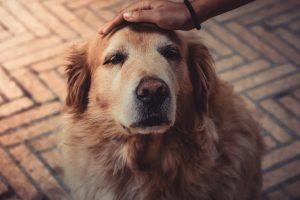Спокойствие в доме: 5 лучших пород собак для людей с тревожностью