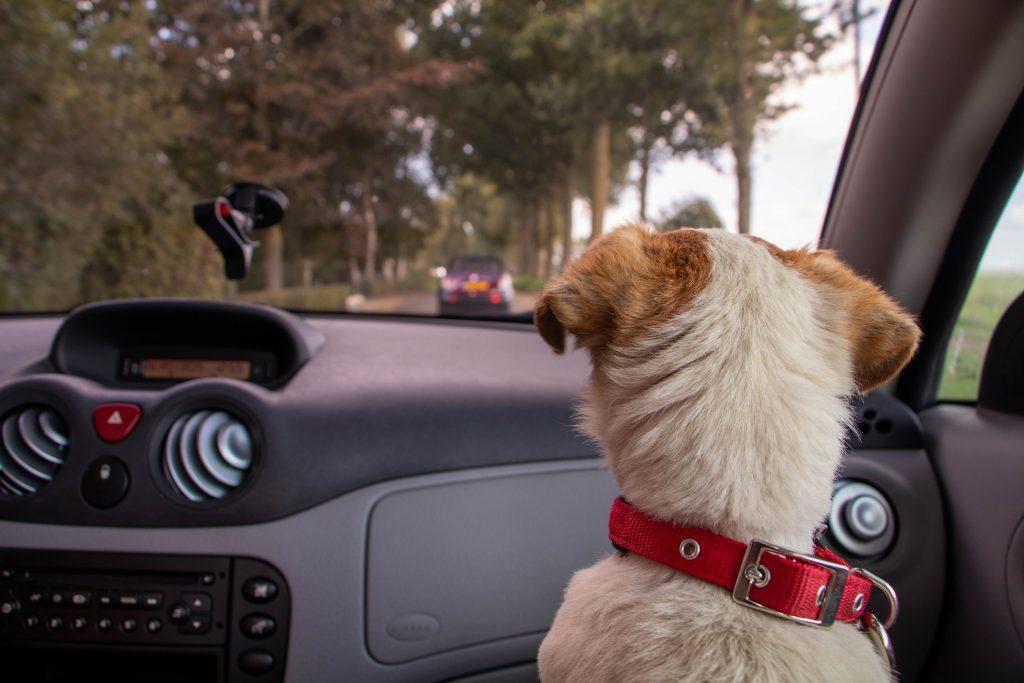 Почему вы никогда не должны позволять собаке ездить на переднем сиденье автомобиля