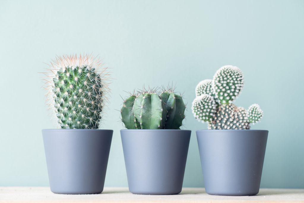 Почему вы должны начать есть кактусы (или пить кактусовую воду)