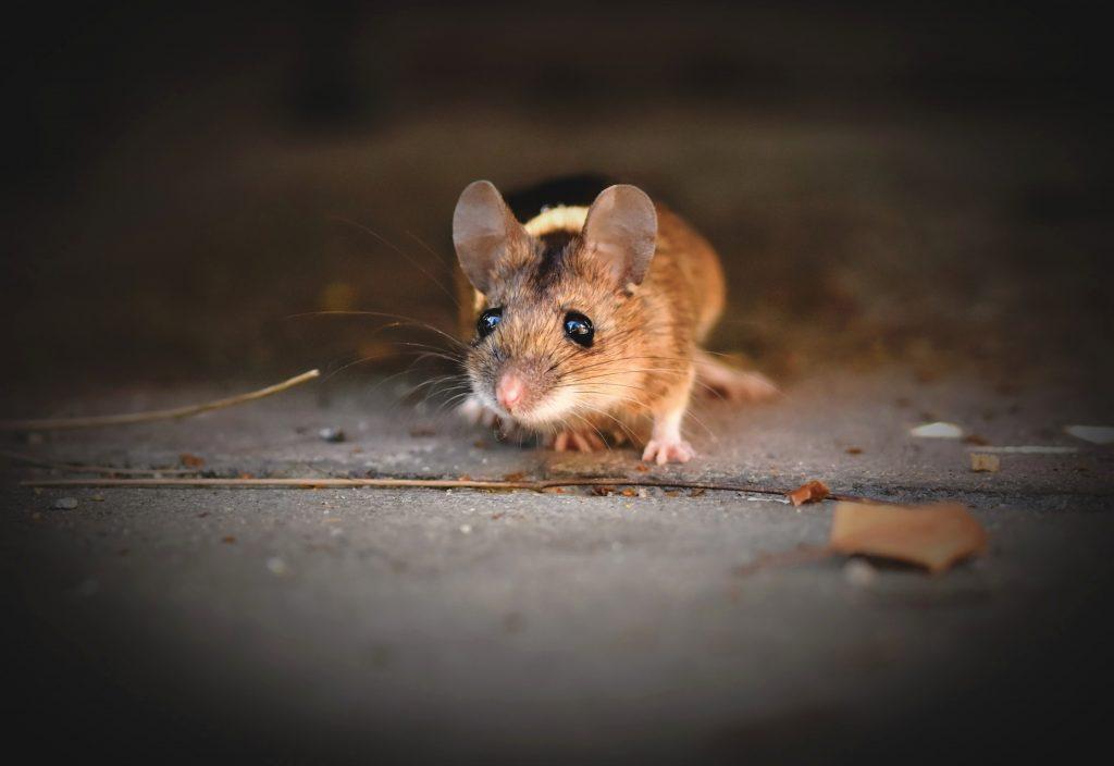 Одна вещь, которую нужно убрать перед сном, чтобы в доме не появились мыши