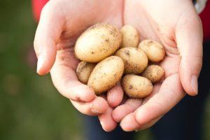 Безобидная вещь, которая портит картофель, если они хранятся вместе